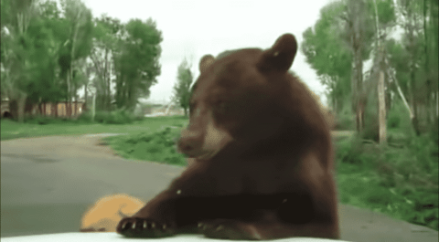 VIDEO: Curious Trio Of Bears Climb On Top Of Car With Family Inside