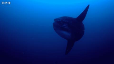 Researchers Capture A Massive Sunfish On Camera
