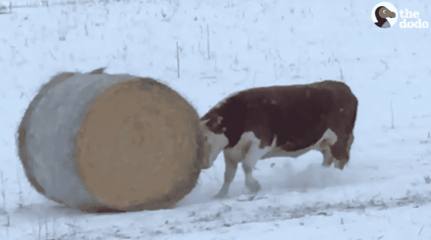 VIDEO: This Cow Just Wants To Play And Push Hay Around All Day