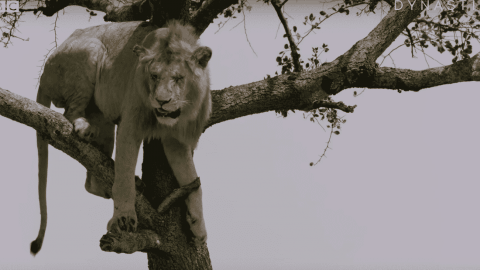 VIDEO: Call The Fire Department Because This Lion Is Stuck In A Tree
