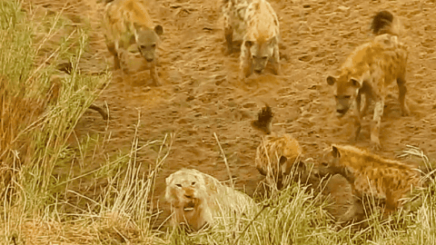 VIDEO: Hyenas Corner And Attack Lion Until Then He Calls For Backup