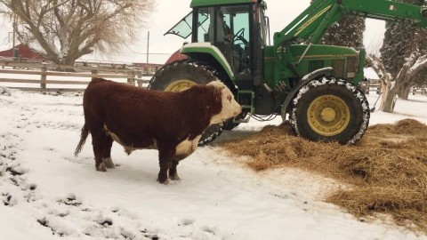 VIDEO: Excited Bull Has A Heyday With His New Winter Bedding