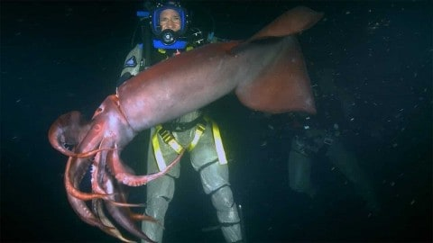 VIDEO: Diver Gets Bitten By A red Devil Squid