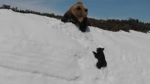VIDEO: Bear Cub Gives It Everything It Has To Follow Mama Bear Up A Mountain