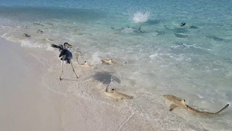 VIDEO: School Of Blacktip Sharks Swarm Near Crystal Clear Shore
