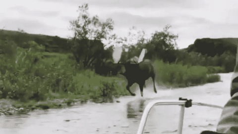 Forget Horsepower! This Bull Moose Keeping Up With A Motorboat Shows Moosepower Is The Way To Go