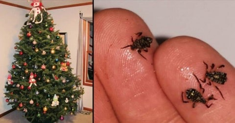 There's A Good Chance Your Christmas Tree Has Some Bugs To Go Along With Those Ornaments