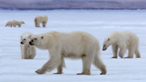Watch Film Crew Get Surrounded By 13 Polar Bears