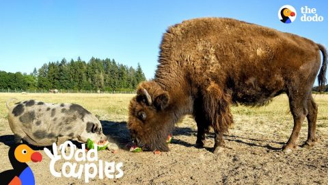 This Blind Buffalo's Best Friend Is A Real Pig