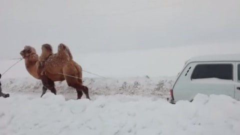 VIDEO: Camel Pulls Car Out Of The Snow