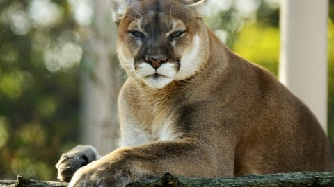 Mountain Lion Attacks Trail Runner, So He Suffocated It With His Bare Hands