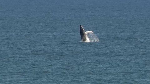 Uptick In Humpback Whale Sightings Off Central Florida Coast Is A Dream Come True For Whale Watchers