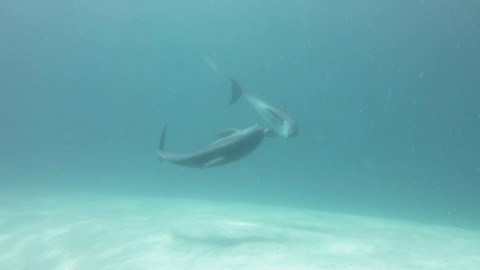 VIDEO: Dolphin Messes With Pufferfish Because It Likes Getting Psychedelic