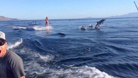 Watch Woman Wakeboard With A Massive Escort Of Dolphins