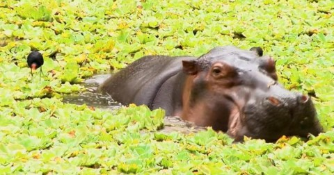 Pablo Escobar's Hippos Are Out Of Control In Colombia And Keep Multiplying