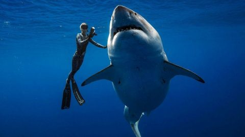 Watch Divers Swim With A Great White Shark So Big It'd Put Jaws To Shame