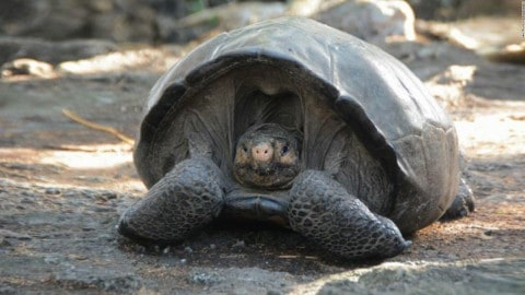 Tortoise Thought To Have Gone Extinct Is Discovered A Century Later
