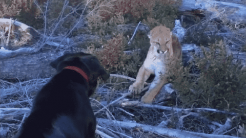 VIDEO: Labrador Retriever Holds Off Cougar During Intense Standoff