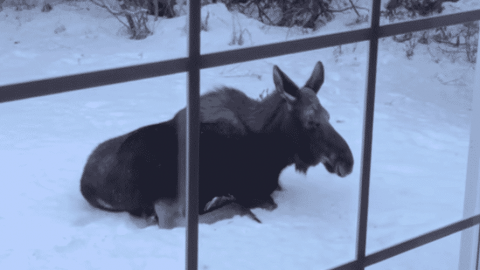 Chill Out: Woman Discovers A Moose Relaxing In Her Front Yard
