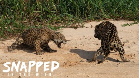 VIDEO: Intense Jaguar Brawl For Territory