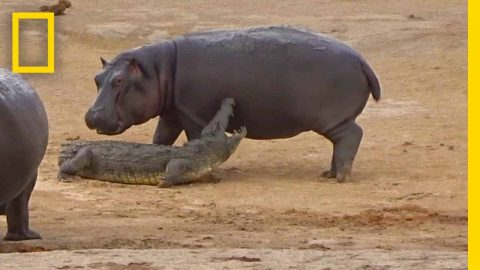 VIDEO: Young Hippo Gets Rejected While Trying To Play With Crocodile
