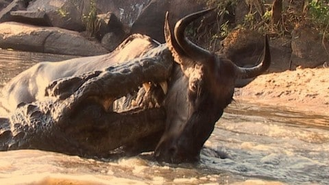 Drinking Wildebeest Get Attacked By Crocodiles, Again And Again