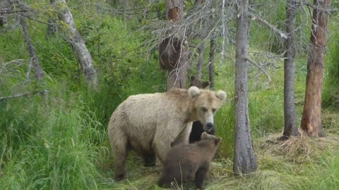 Watch Mama Grizzly Bears Have Intense Standoff