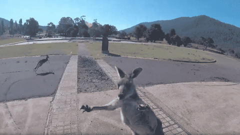 Not A Fan: Kangaroo Charges Paraglider Because It Hates Parachutes