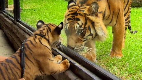 Tiger Cubs Meet An Adult Tiger For The First Time