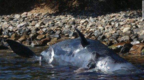 Pregnant Whale With 50 Pounds Of Plastic In Its Stomach Washes Up On Shore