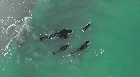 Watch Orca Pod Play With Swimmer In Incredible Footage