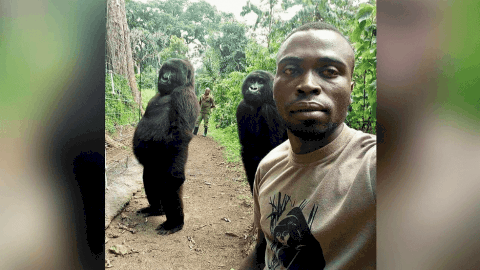 Teach Me How To Selfie: Two Gorillas Pose With The Park Ranger Who Helped Rescue Them