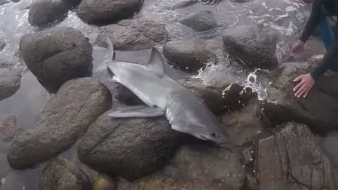 VIDEO: Surfers Rescue Baby Great White Shark Stranded In Rocks