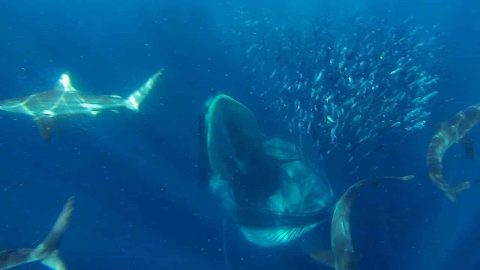 Sharks And Dolphins And Whales, Oh My! Every Fish In The Sea Gets In On This Epic Sardine Feeding