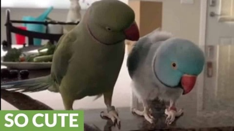 Look Who's Talking: Parrot Brothers Love Talking To One Another
