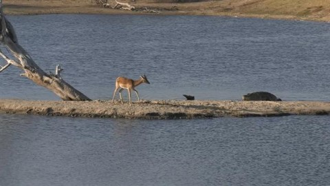 Face Off: Impala Tries To A Beat Crocodile In Race To Shore, Then A Hippo Crashes The Party