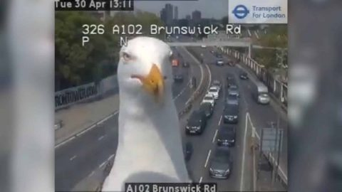 Front And Center: Seagulls Keep Blocking Traffic Cam