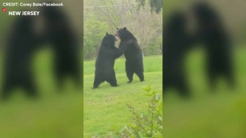 Watch These Two Bears ThrowDOWN On This Guys Front Lawn