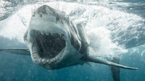 Massive Great White Shark Chomps Down On Chum Bag As Couple Watches