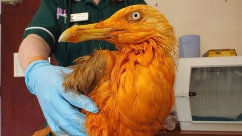 Seagull Looks Like A Cheeto After Falling Into A Pot Full Of Curry