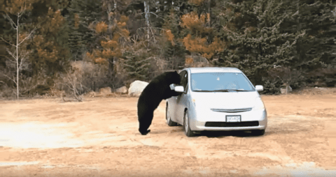 VIDEO: Bear Checks A Car For Food After A Long Nap