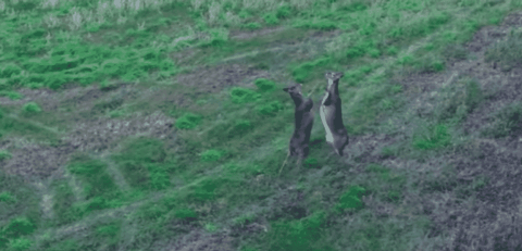 Slap Fight: Whitetail Deer Duke It Out In Bipedal Brawl