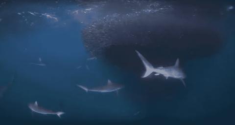 VIDEO: Sharks Feast On Giant Baitfish Ball Buffet