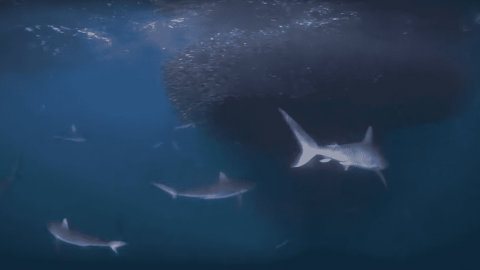 VIDEO: Sharks Feast On Giant Baitfish Ball Buffet
