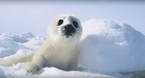 VIDEO: Harp Seal Pup Chilling In The Snow Will Get You Through The Mid-Week Hump