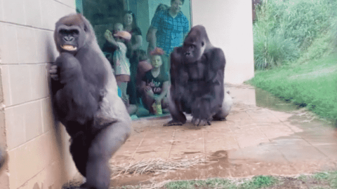 Gorillas Basically React Like People When They Get Caught In The Rain