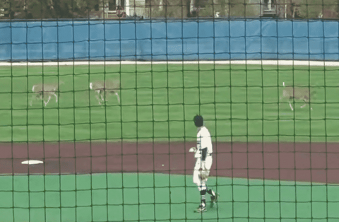 Triple Fan Field Rush: Three Deer Interrupt Baseball Game, Run Around Outfield