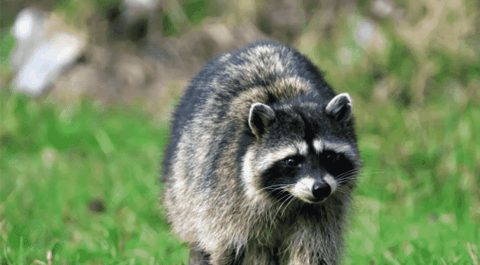 VIDEO: 6-Year-Old And 8-Year-Old Attacked By Their Neighbors 'Pet' Raccoon