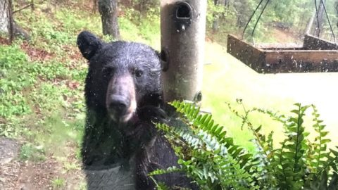 VIDEO: Hungry Black Bear Shakes Down The Bird Feeder For A Snack