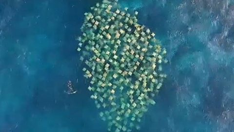 Drone Records Massive School Of Swimming Stingrays